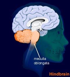 medulla_oblongata2