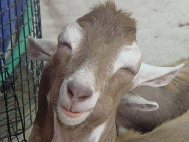 senyum-kambing